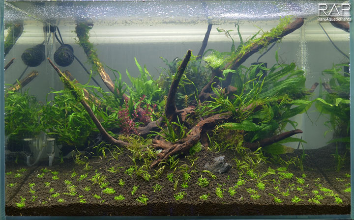 70_elos_terra_black_elos_aquatop_deep_forest_rareaquaticplants