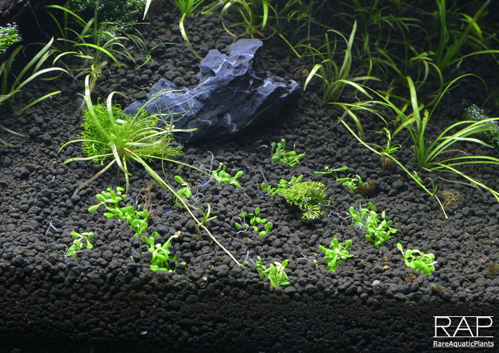 92_elos_terra_black_elos_aquatop_deep_forest_rareaquaticplants