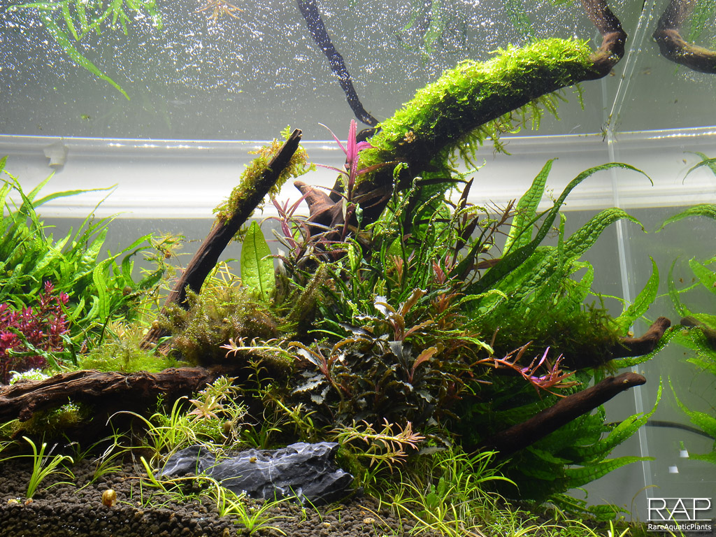 96 elos terra black elos aquatop deep forest rareaquaticplants.jpg